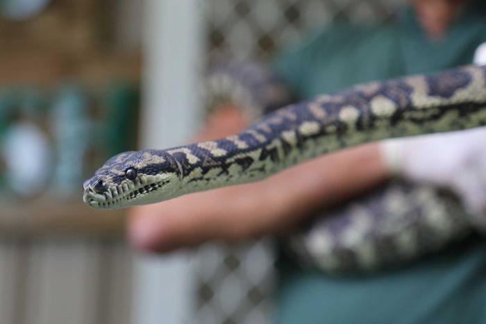 A jungle python, which was addicted to methamphetamine.