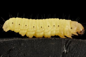 Generic close up of a wax worm.