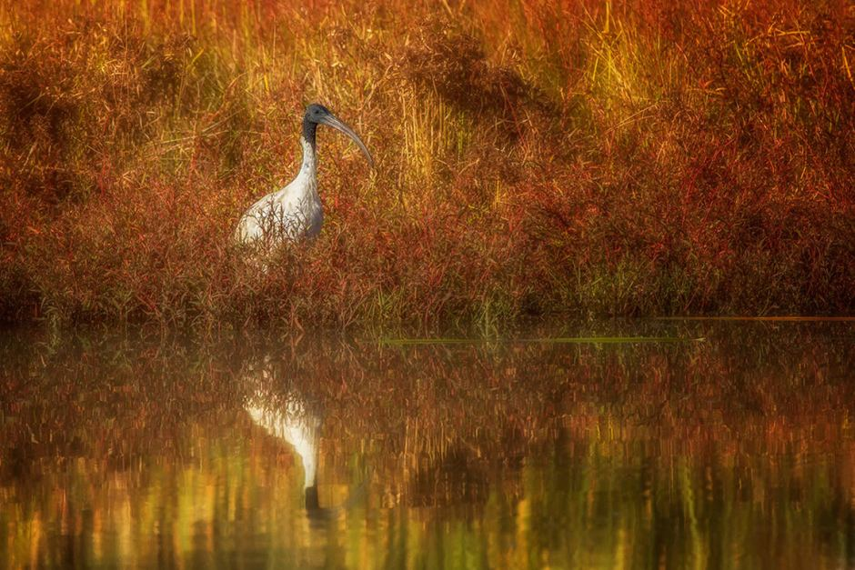 Pic of the week Autumn ibis