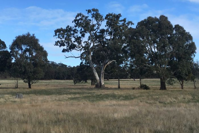 Some of the trees thought to be Djab Wurrung sacred birthing trees.