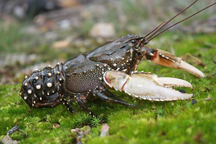 A brownish grey coloured Murray crayfish with white claws, sitting on bright green moss.
