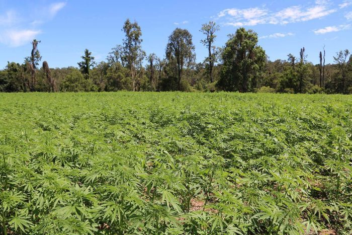A wide shot of one of Hemp Farms Australia's first commercial crops of hemp in south-east Queensland.