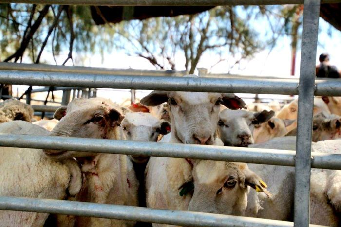 Sheep in a pen at Barcaldine