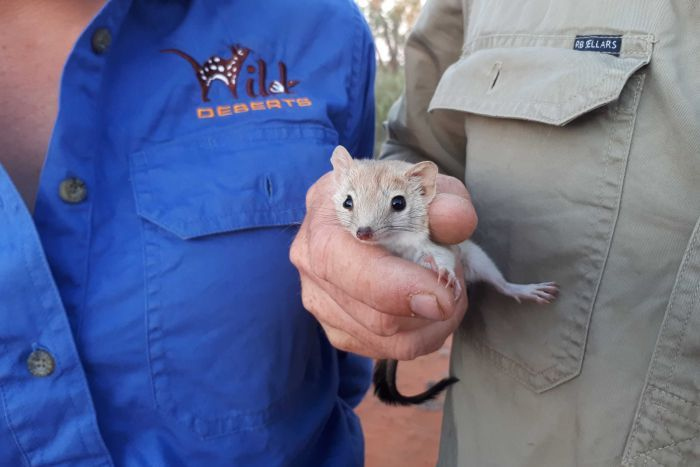 A small mouse-like mammal is held by a human hand.