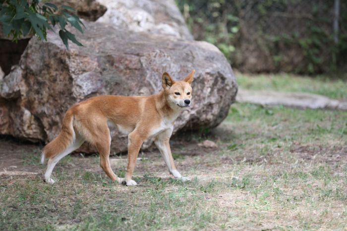 A dingo puppy explores her enclosure.