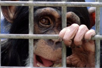 A young chimp  chews on a piece of cardboard as he stares trough the bars of his cage.