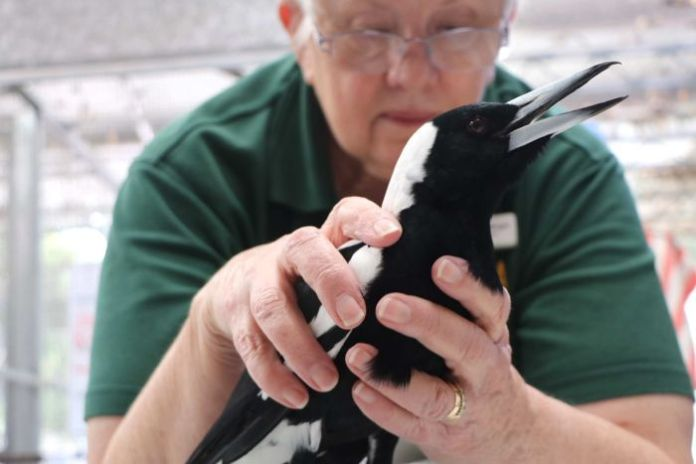 A wildlife carer examines a sick magpie.