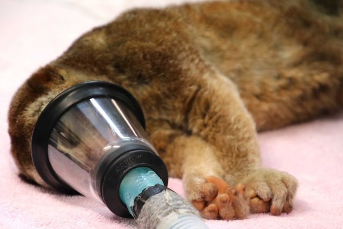 An anesthetised slow loris lies on a vets table, with its face inside an oxygen mask.