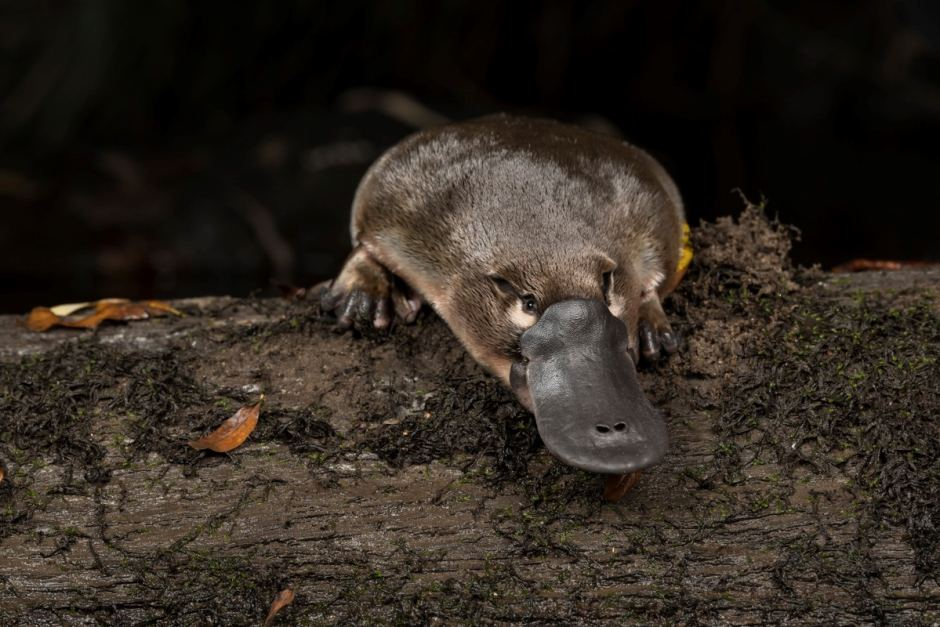 a platypus in a