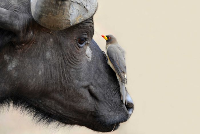 An oxpecker sits on an animal's nose.