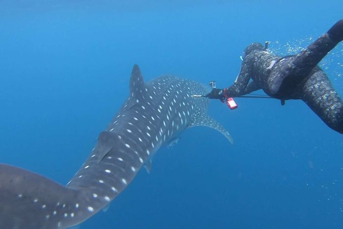 A scientist in a wetsuit swims alongside a whaleshark off the coast of Exmouth in Western Australia.