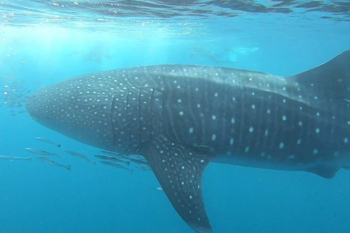 A large whale shark swims alongside much smaller fish off the West Australian coast, near Exmouth.