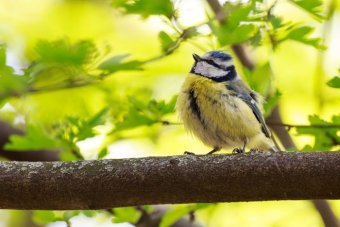 Blue tit sitting on branch