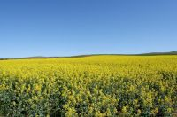 Australia currently supplies about 20 per cent of the canola in the world. (David Hedley)