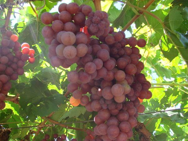 growing grapes brisbane