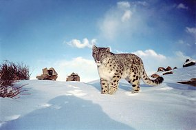 Snow leopard stands in Himalayan snow