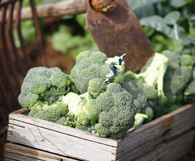 The broccoli will be wrapped in plastic in shops to retain the anti-oxidants.