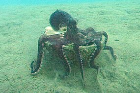 The  octopus stacks, transports and assembles coconut shells as portable  armour