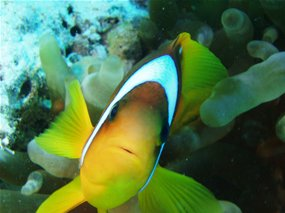 Red  Sea Clownfish (Amphiprioninae)