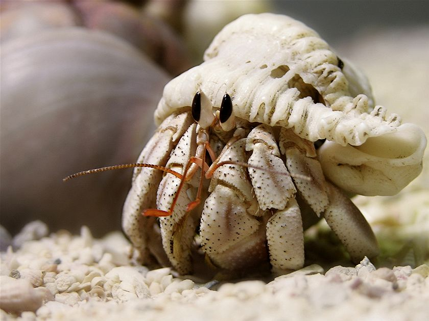 I love hermit crabs! When my boys were little we had many fantastic beach adventures searching for and watching these cute little guys. (Paula McManus)