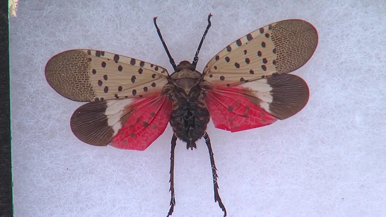 spotted_lanternfly_1557351816142.jpg