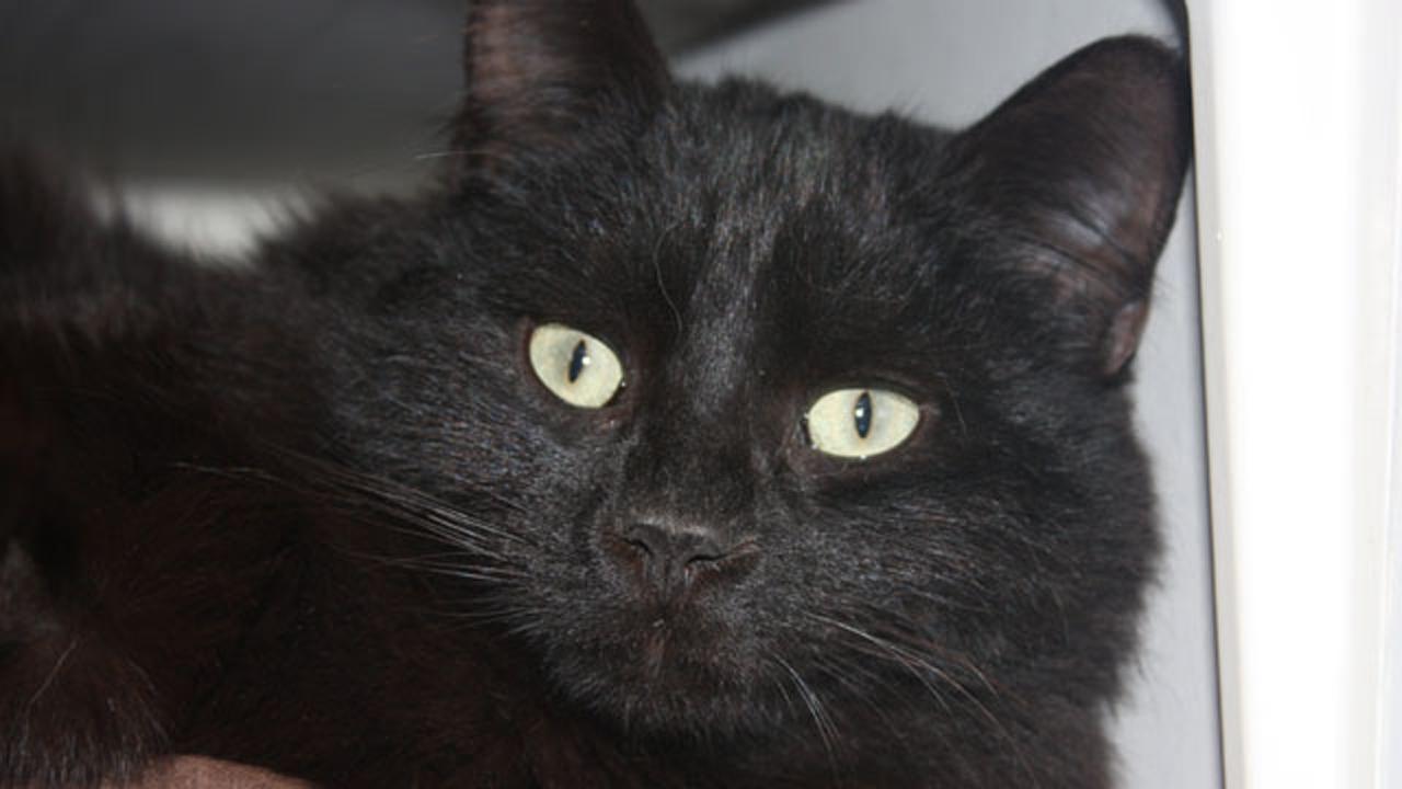 Black cat-159532.jpg52030404