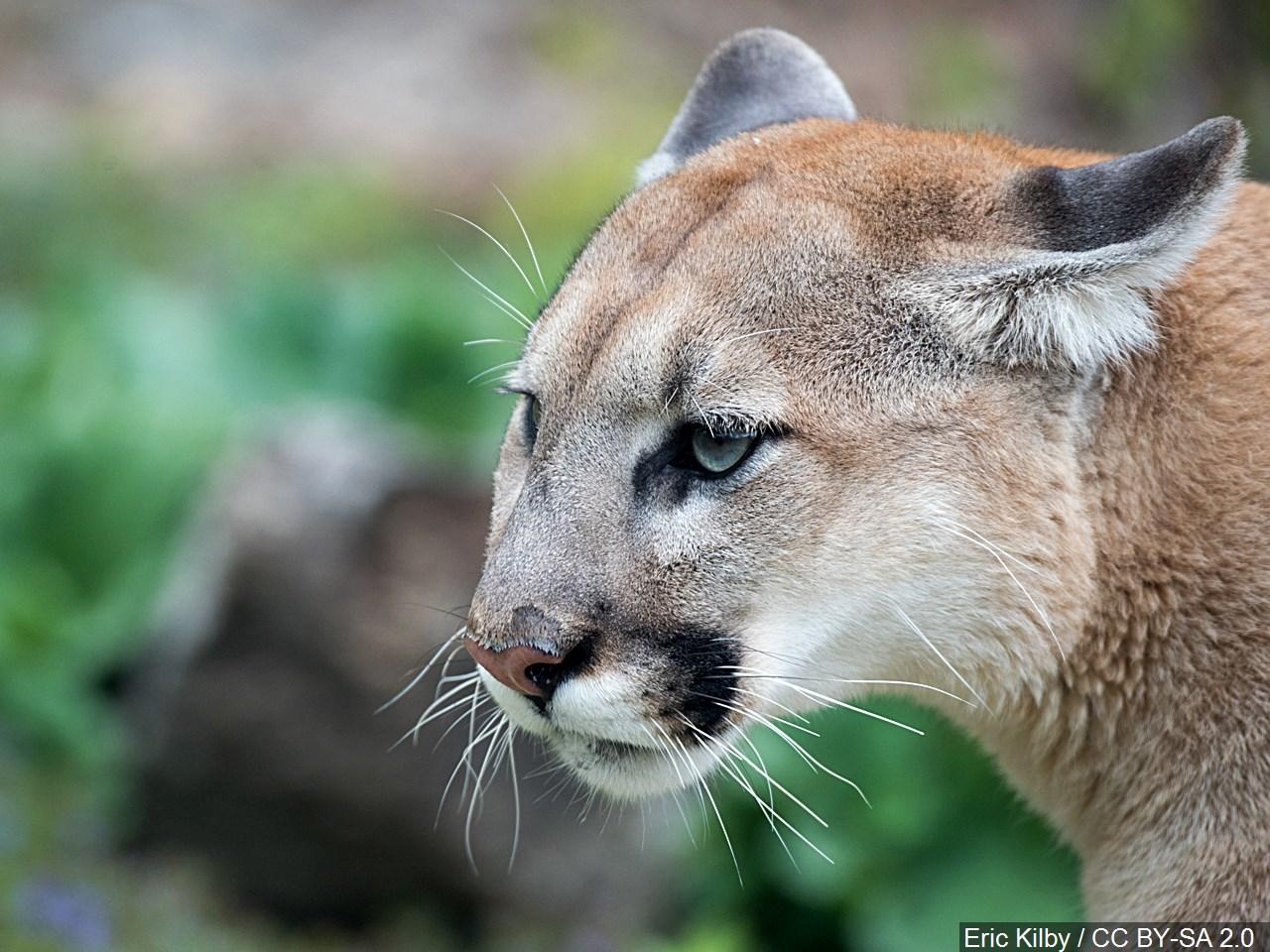 cougar mountain lion