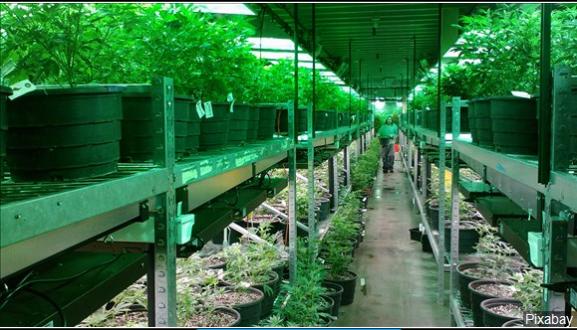 Marijuana_1550724355497.PNG