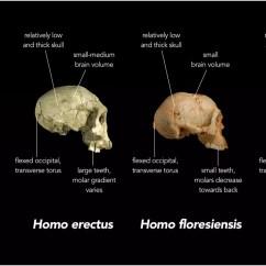 Chimpanzee Skull Diagram Car Wiring Symbols Nova Espécie De Hominídeo é Descoberta