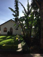 Banana plant at house