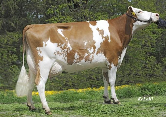 Barben KRAFTY Tonnelle Red 80 pts. 2 y. 2-08 305 2x 9'015 kg ( 19'912 lbs. ) 3,57% Fat 3,06% Prot. Owner / Besitzer / Propriétaire / Propietario: Thierry Barben, La Chaux de Fonds, Switzerland