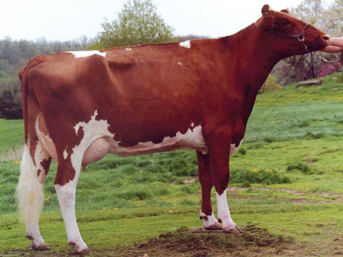 Cityview Ruby WINE-Red VG-88 G. Grandmother / Urgroßmutter / A. grand-mère / Bisabuela of Relief P Red Owner / Besitzer / Propriétaire / Propietario: City View Farm, USA