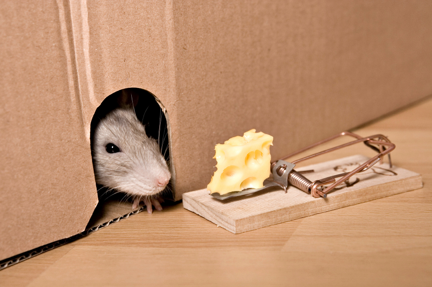Do Mice Like Cheese Abc Austin Blog