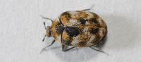 Handling A Carpet Beetle Infestation And Having Carpet ...