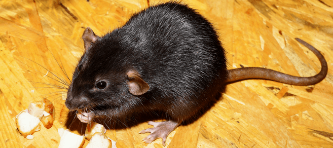Roof Rat vs. Norway Rat: How Are They Different?   ABC Blog