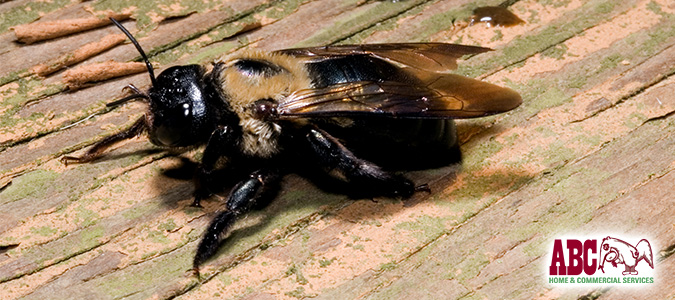 Getting Rid Of Wood Boring Bees