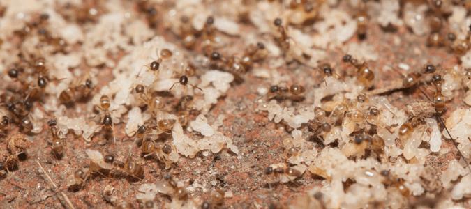 tiny ants florida homeowners seek
