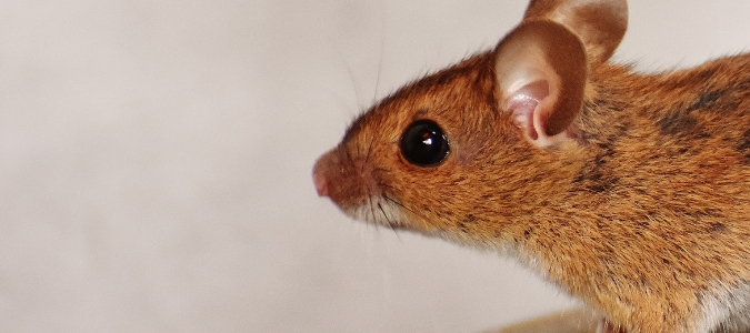 Deer Mouse Vs. House Mouse: Which Is The Bigger Pest? | ABC Blog