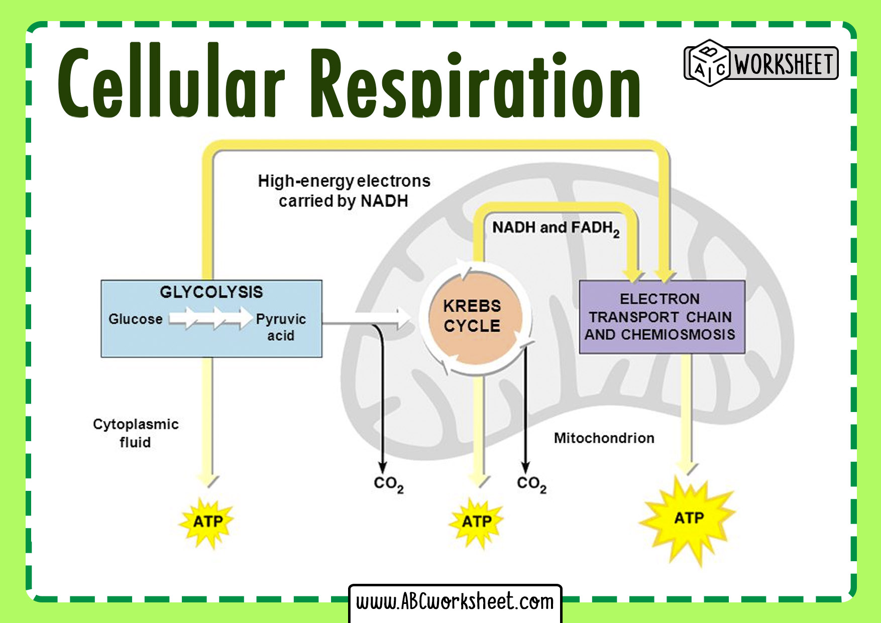 Cellular Respiration Cycle