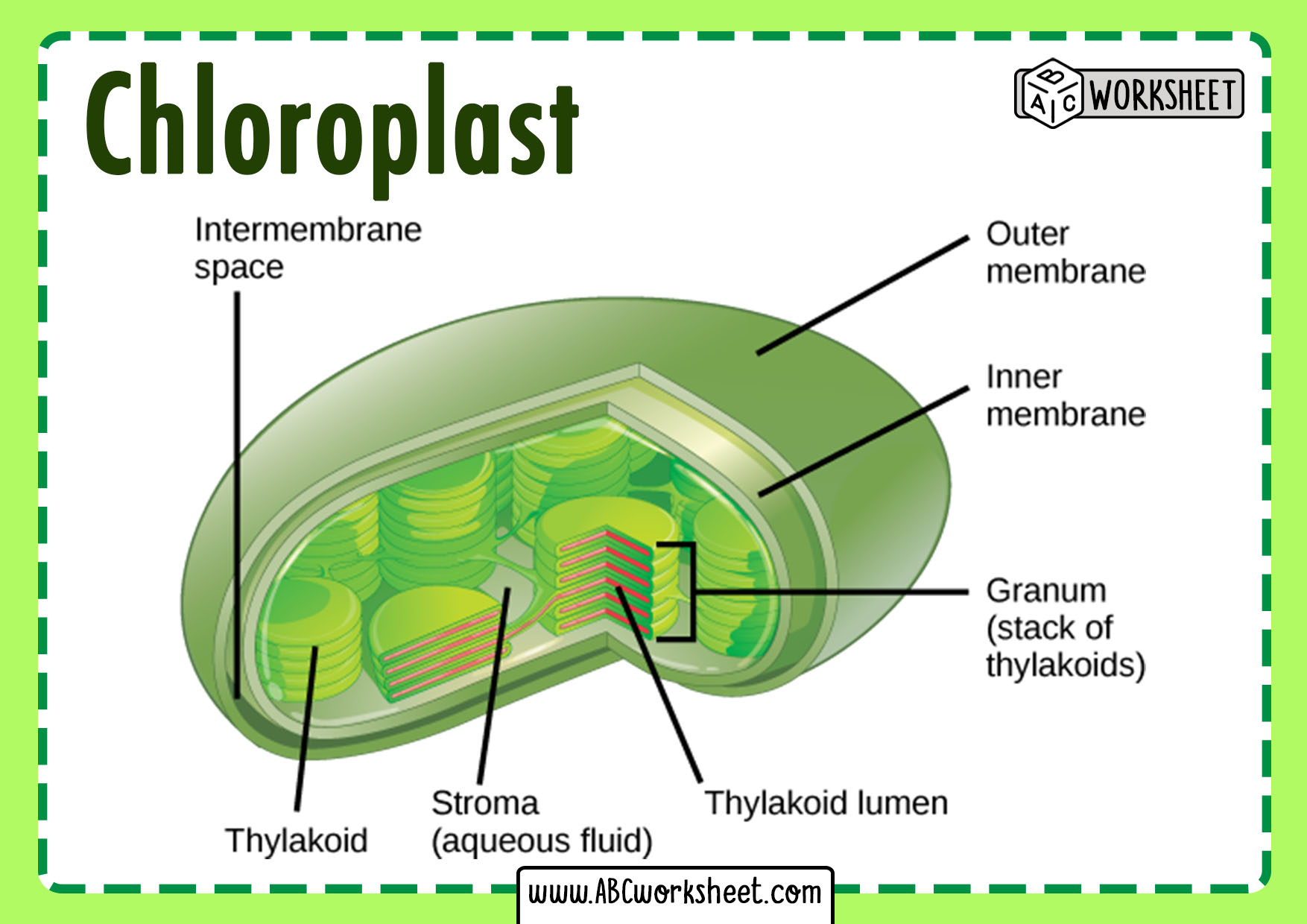 Chloroplast Plant Cell