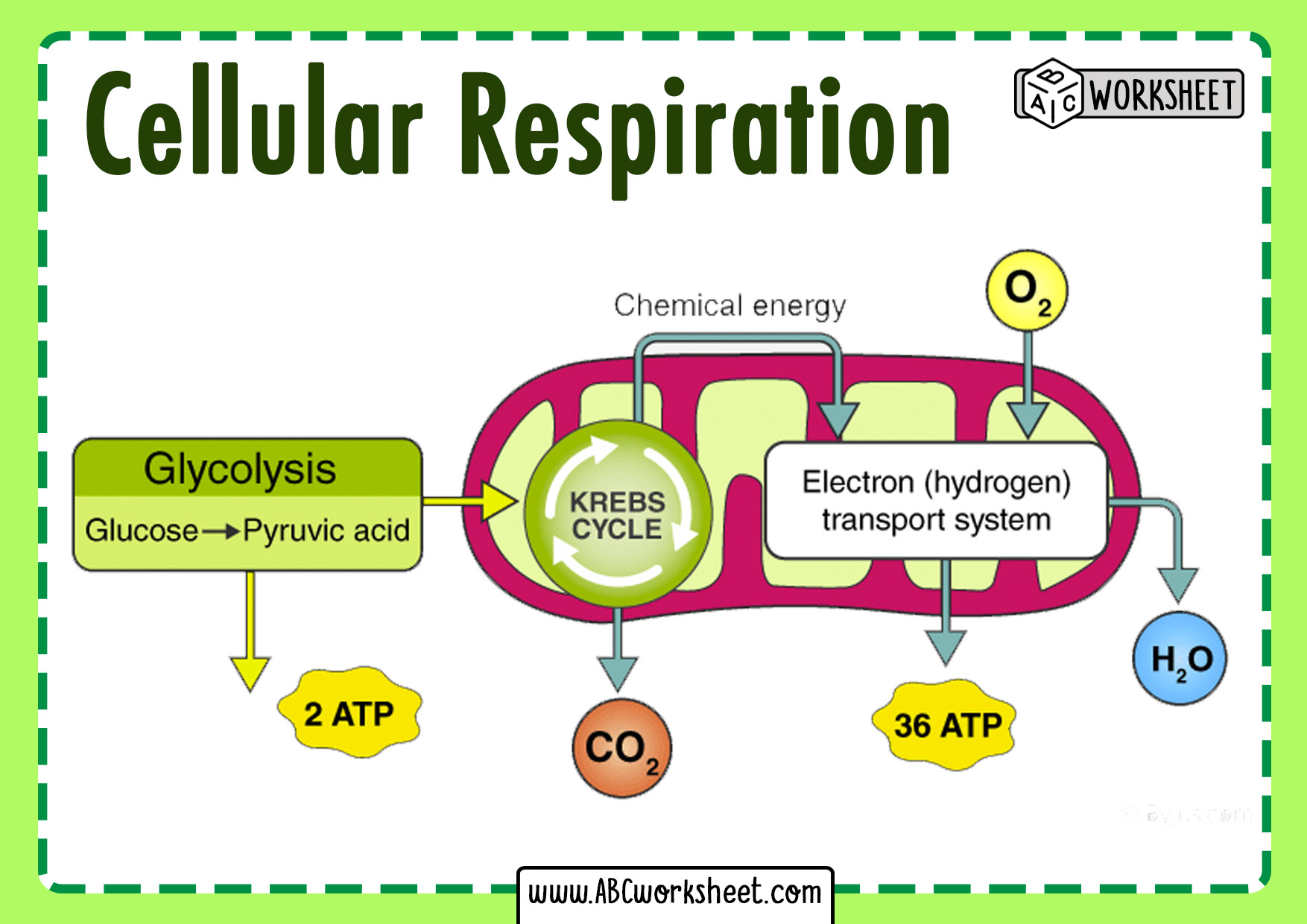 Steps Of The Cellular Respiration Cycle
