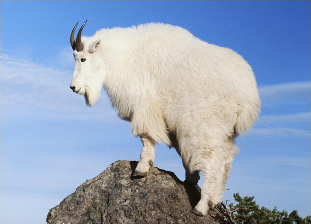 https://i0.wp.com/www.abeatingheart.ca/wp-content/uploads/2013/02/BIG-MOUNTAIN-GOAT.jpg