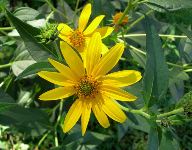 Helianthus botanical used in Aixallia