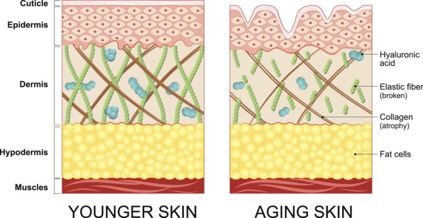 infographic collagen production and skin structure