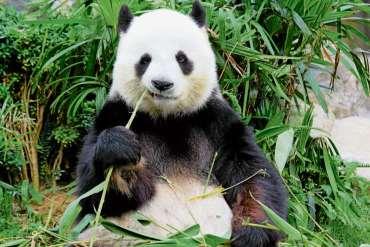 Ein Panda für den Tierpark