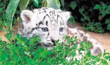 Kleiner Leoparden-Star