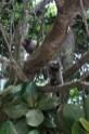 Affen auf Ilha Grande