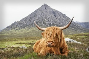 10. Highland Cow2