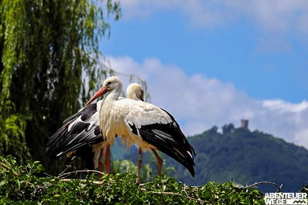 Der Storch ist im Elsass häufig und gerne gesehen