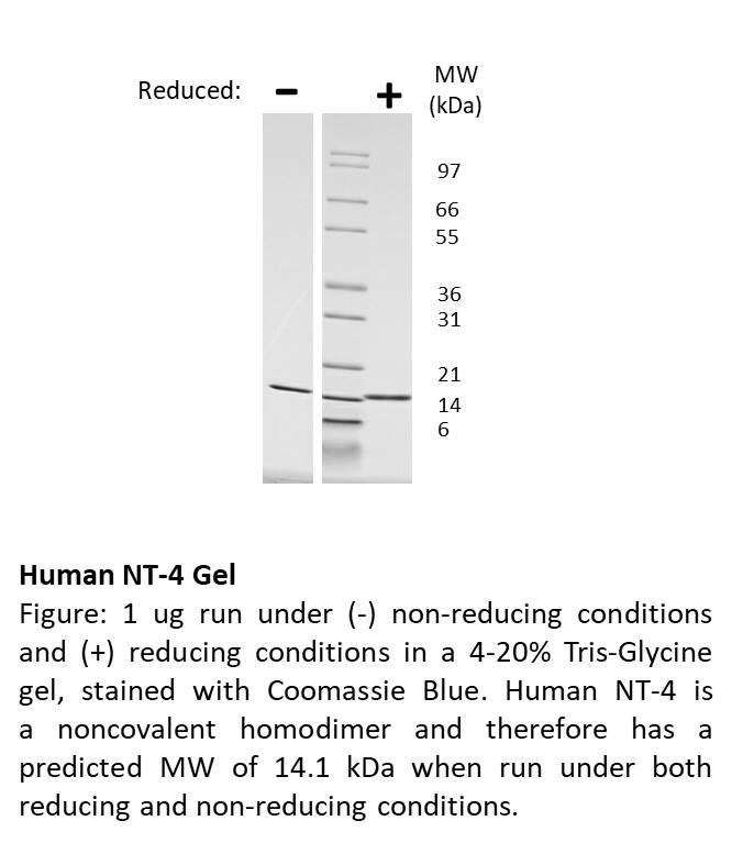 Human Neurotrophin-4 Recombinant Protein